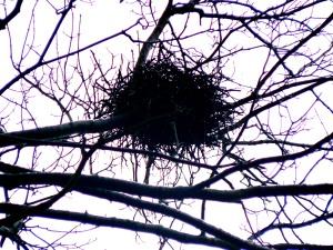 Rooks nest in winter