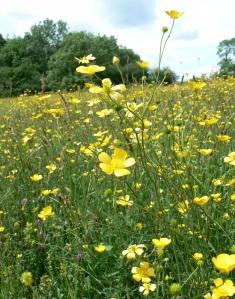 Buttercup Meadow 1