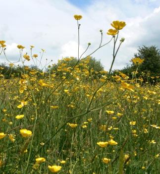 Buttercup Meadow 2