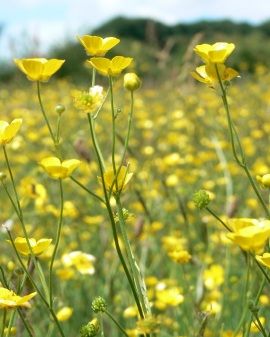Buttercup Meadow 3