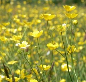 Buttercup Meadow 4