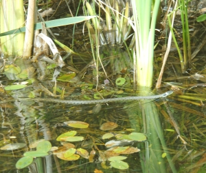 Grass Snake at Potteric by Paul Ardron 3
