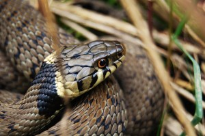 Grass Snake Thomas Wood 2