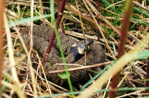 Grass Snake Thomas Wood