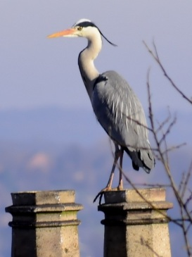 Grey Heron by Chris Percy 3