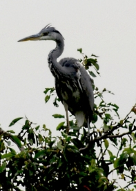 Grey Heron in garden in Walkley Photo by Chris Percy