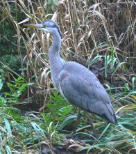 Grey Heron smaller