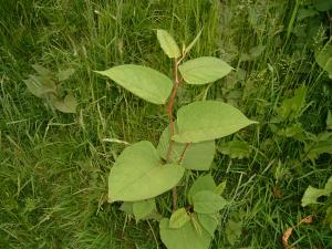 Knotweed leaf
