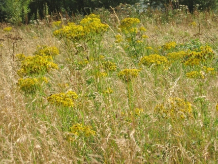Ragwort invading a meadow