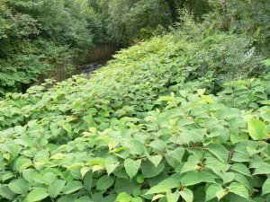 Sheffield's urban River Sheaf swamped by Japanese Knotweed. By Ian Rotherham