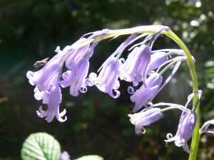 The bluebells of Smithy Wood