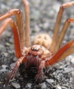 House spider 2012 1