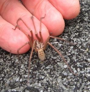 House spider 2012 3