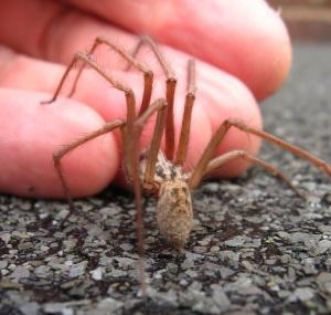 House spider 2012 5