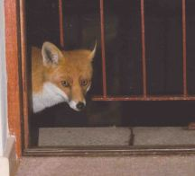 Fox waiting at the window for its treat. Don Rudston