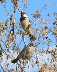 House Sparrows feeding by Ian