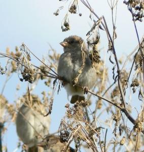 Juvenile House Sparrow by Ian