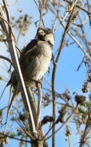 Male House Sparrow by Ian