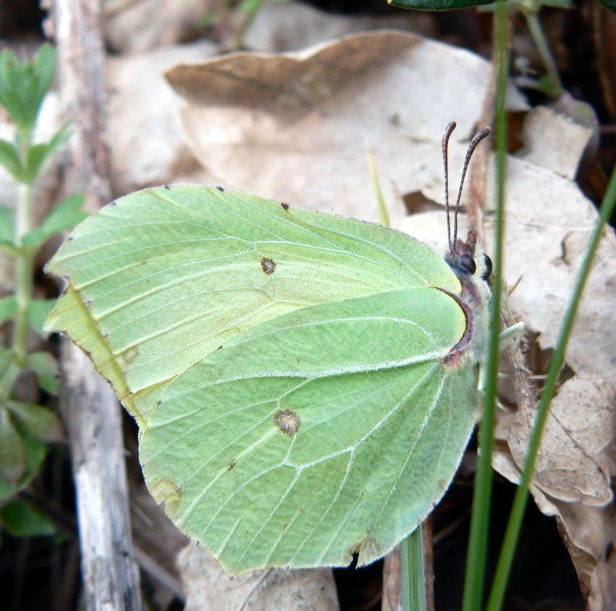 Brimstone Butterfly2