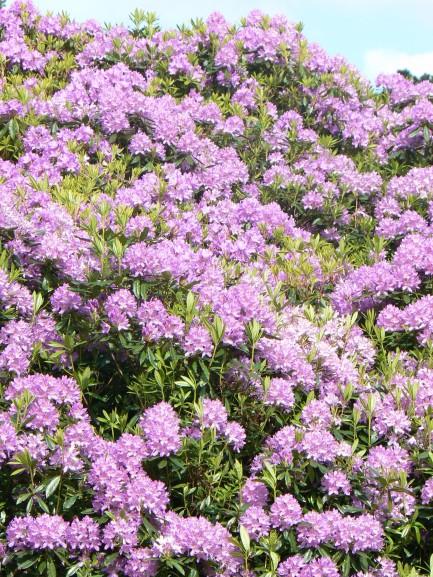 Rhododendron en masse