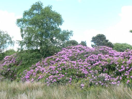 Rhododendron en masse2