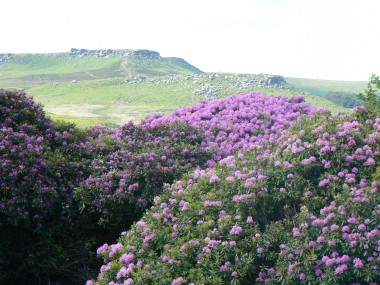 Rhododendron in the Peak District
