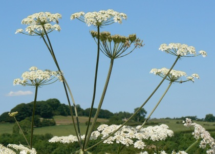 Common hogweed  by Ian Rotherham