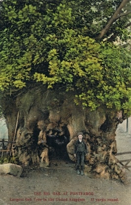 The Big Oak at Pontfadog in Wales, one of the oldest in Britain
