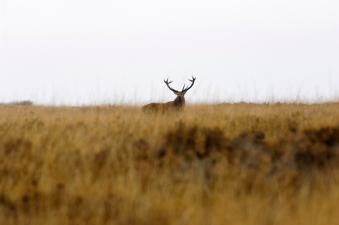 Red Deer Big Moor (1)