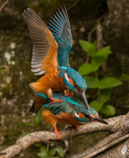 Mating kingfishers pictured by Brent Hardy