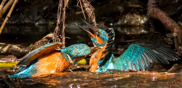 Rarely seen as Brent Hardy captures battling territorial male kingfishers on the River Don
