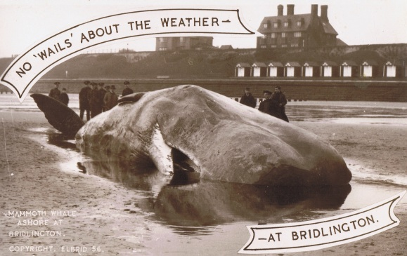 Sperm Whale washed up at Bridlington January 1st 1937