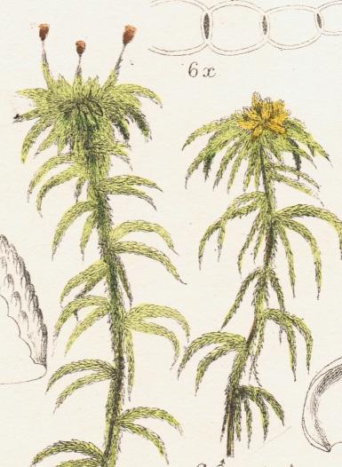 cymbifolium 2