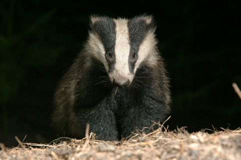 Badger 1 Paul Hobson