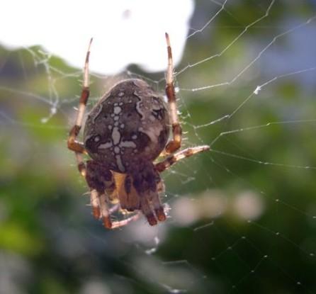 Garden spider Mr 7 Mrs East