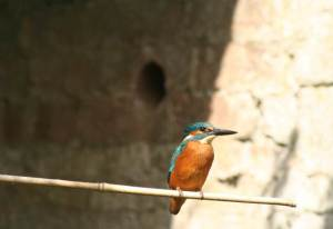 Kingfisher 4