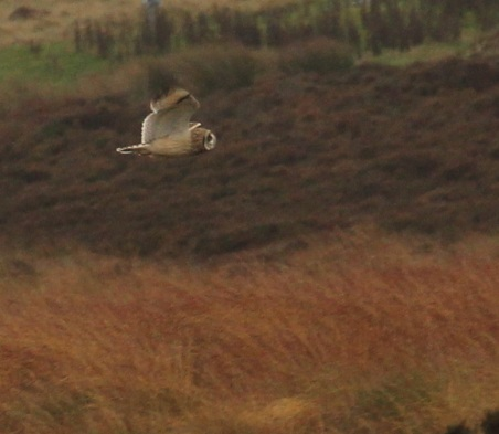 Short-eared owl over Ringinglow Bog by Paul Ardron 2
