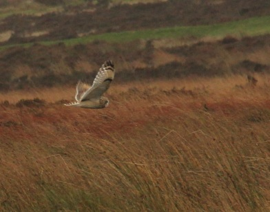 Short-eared owl over Ringinglow Bog by Paul Ardron