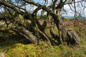 Ancient coppice tree marking the location of an historic shadow wood