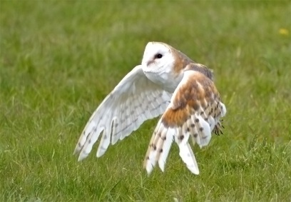 Chris P barn owl