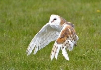 Chris P barn owl