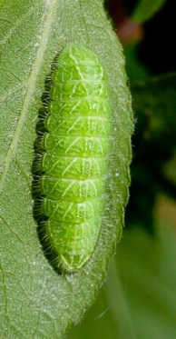 White-letter hairstreak caterpillar 2
