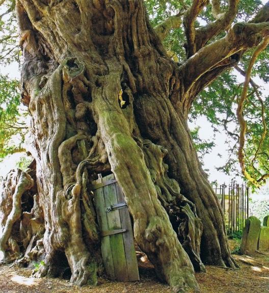 figure-4-the-crowhurst-yew