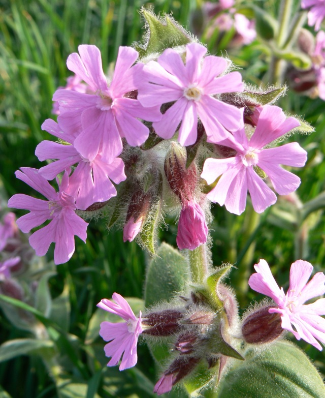 Red campion - a wild flower of woodland edge and hedgerow but not necessarily indicative of ancient woods
