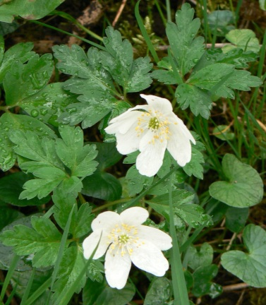 wood-anemone-an-excellent-indictator-of-an-old-woodland