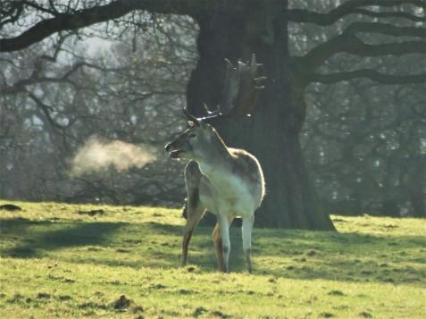 fallow-deer-buck-chatsworth