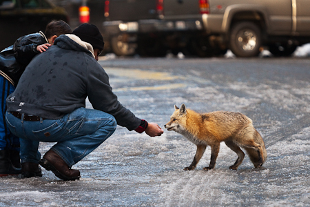 Visitor unwisely and illegally feeding a human-habituated Red Fox (Vulpes vulpes) in the Longmire area of Mount Rainier National Park, Washington State, USA, Mount_Rainier_Longmire-165 [Note: no model release; use for editorial purposes only]