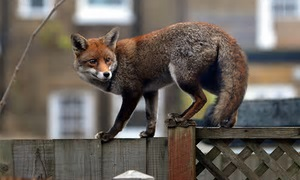 urban-fox-from-the-guardian