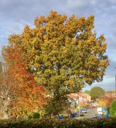 vernon-oak2